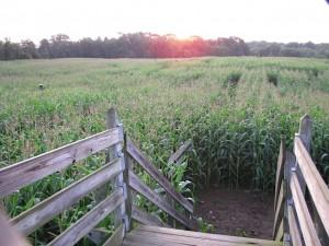 amazing corn maze