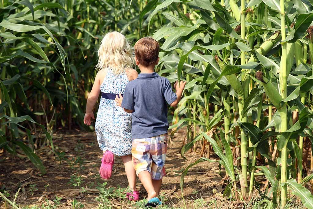 corn-maze3
