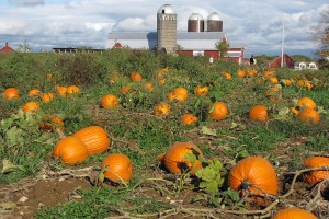 pumpkin picking at Ellms Family Farm