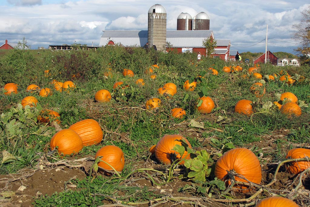 Pick your own pumpkins at our saratoga farm