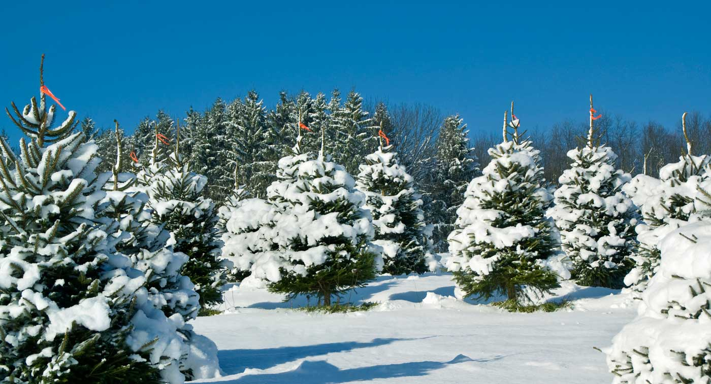 Cut Your Own Christmas Tree at our Family Farm in Saratoga