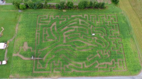 Amazing Maize Corn Maze