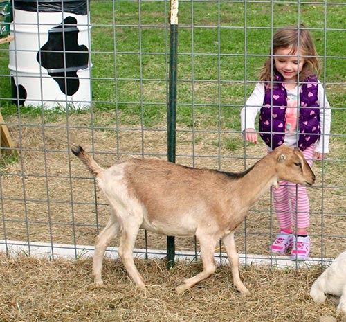 Young girl petting a goat at Ellms Family Farm in Saratoga