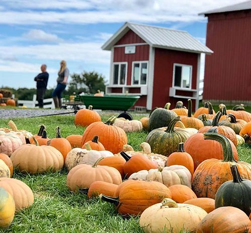 Pumpkins on the farm