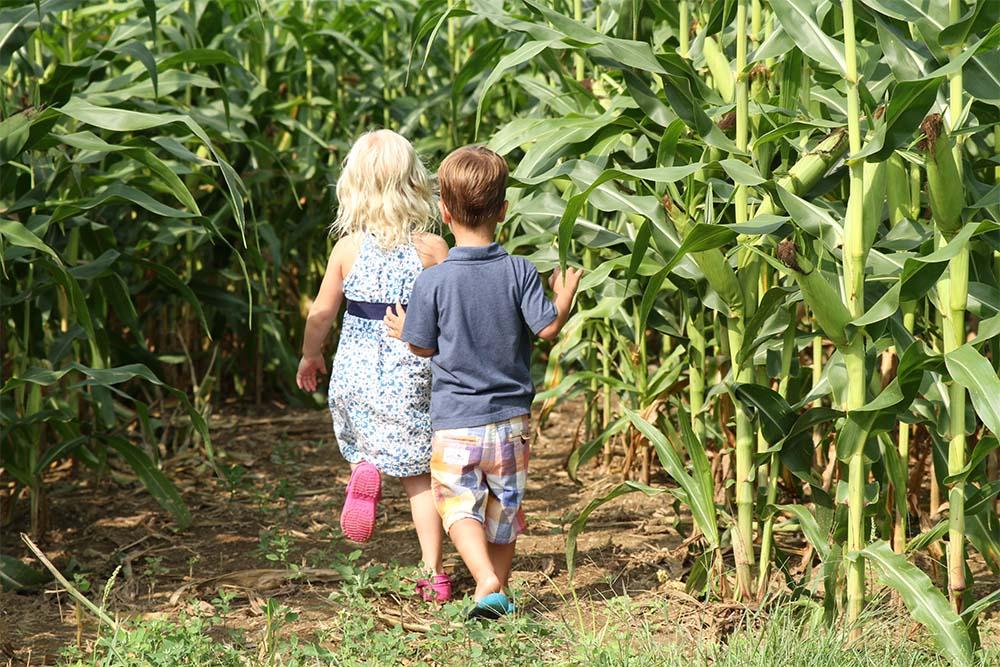 kids walking in corn maze