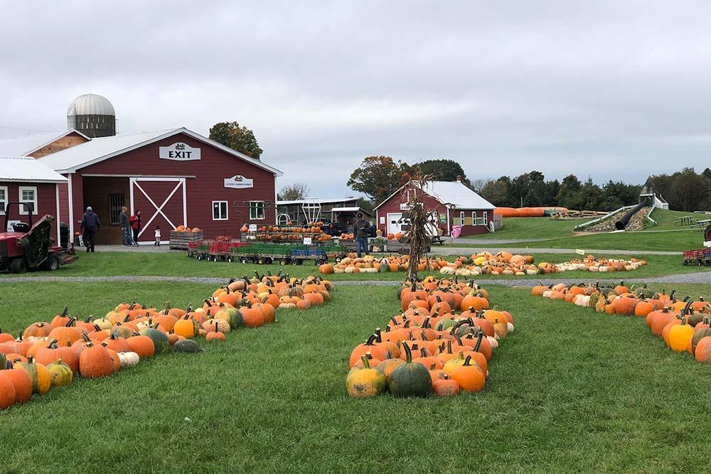 pumpkins set out on grass area